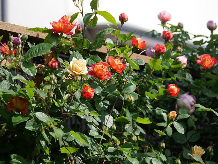 ソレイユロマンティカ(Soleil Romantica)の花が増えてきた。ツルバラ。2021年-064.jpg