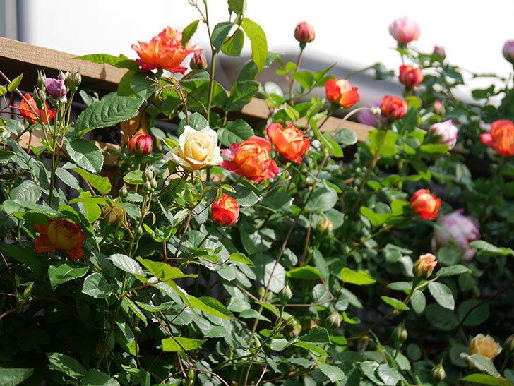 ソレイユロマンティカ(Soleil Romantica)の花が増えてきた。ツルバラ。2021年-065.jpg