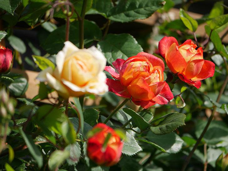 ソレイユロマンティカ(Soleil Romantica)の花が増えてきた。ツルバラ。2021年-066.jpg