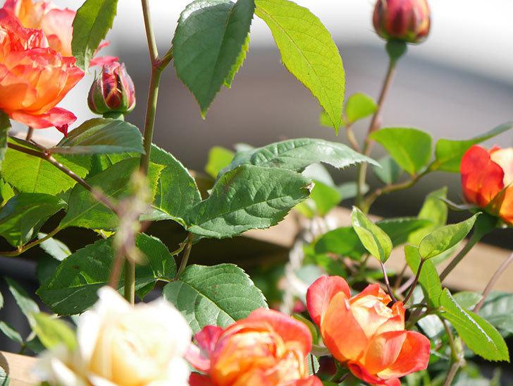 ソレイユロマンティカ(Soleil Romantica)の花が増えてきた。ツルバラ。2021年-067.jpg