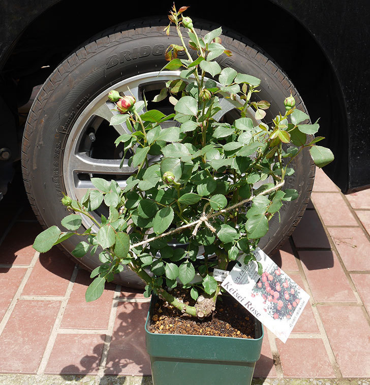 ソレイユロマンティカ(ツルバラ)の大苗を楽天のバラの家で買った。2019年-1.jpg
