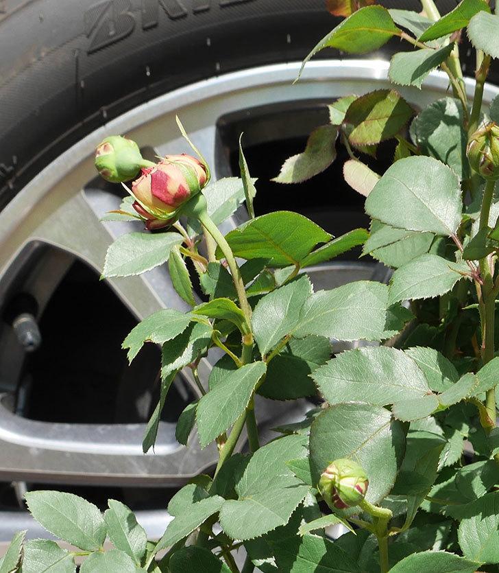 ソレイユロマンティカ(ツルバラ)の大苗を楽天のバラの家で買った。2019年-2.jpg