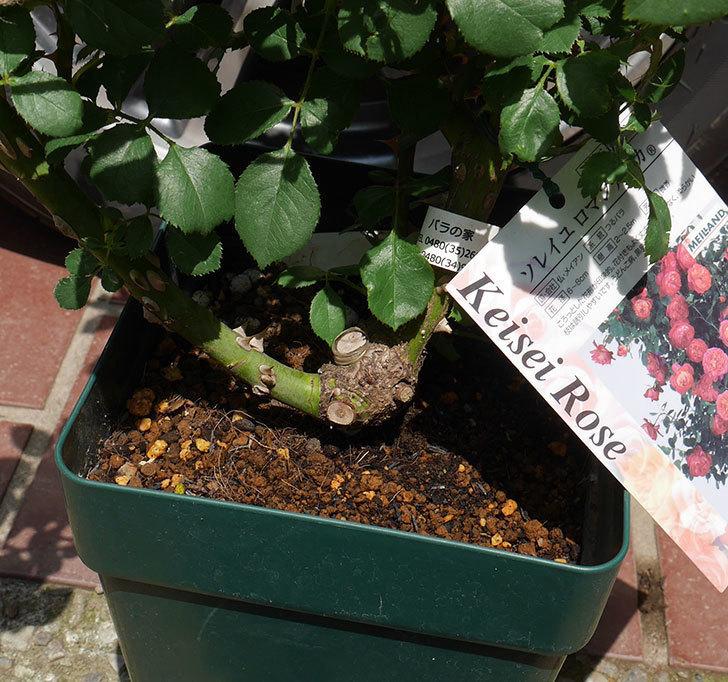 ソレイユロマンティカ(ツルバラ)の大苗を楽天のバラの家で買った。2019年-3.jpg
