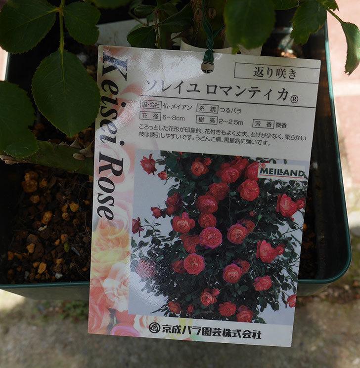 ソレイユロマンティカ(ツルバラ)の大苗を楽天のバラの家で買った。2019年-4.jpg