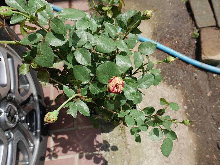 ソレイユロマンティカ(ツルバラ)の大苗を楽天のバラの家で買った。2019年-6.jpg