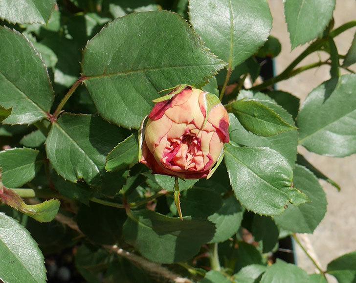 ソレイユロマンティカ(ツルバラ)の大苗を楽天のバラの家で買った。2019年-7.jpg