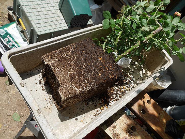 ソレイユロマンティカ(ツルバラ)の大苗をEUスリット鉢-EU-24L(8号深鉢)に植えた。2019年-1.jpg