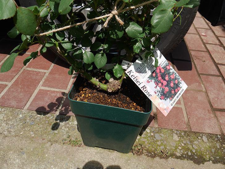 ソレイユロマンティカ(ツルバラ)の大苗をEUスリット鉢-EU-24L(8号深鉢)に植えた。2019年-2.jpg