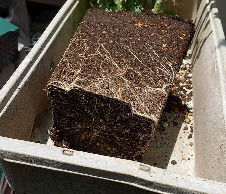 ソレイユロマンティカ(ツルバラ)の大苗をEUスリット鉢-EU-24L(8号深鉢)に植えた。2019年-3.jpg