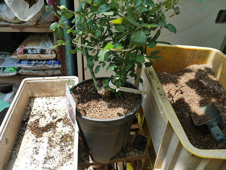 ソレイユロマンティカ(ツルバラ)の大苗をEUスリット鉢-EU-24L(8号深鉢)に植えた。2019年-4.jpg