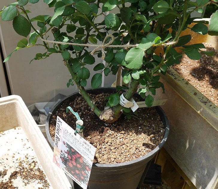 ソレイユロマンティカ(ツルバラ)の大苗をEUスリット鉢-EU-24L(8号深鉢)に植えた。2019年-5.jpg