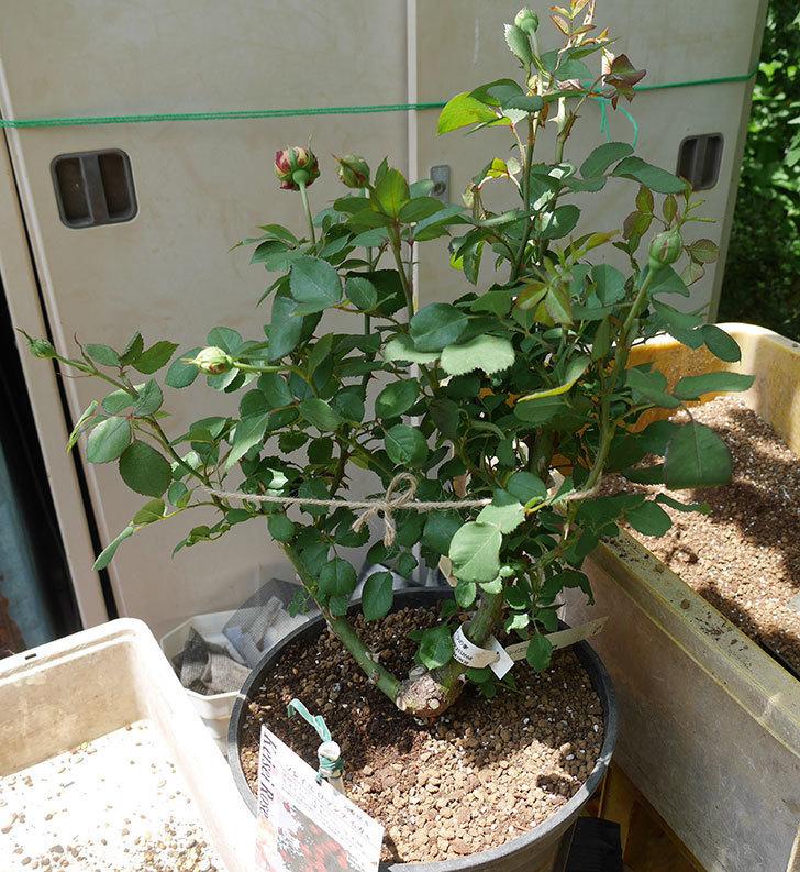 ソレイユロマンティカ(ツルバラ)の大苗をEUスリット鉢-EU-24L(8号深鉢)に植えた。2019年-6.jpg