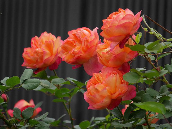 ソレイユロマンティカ(ツルバラ)の花がたくさん咲いた。2020年-1.jpg