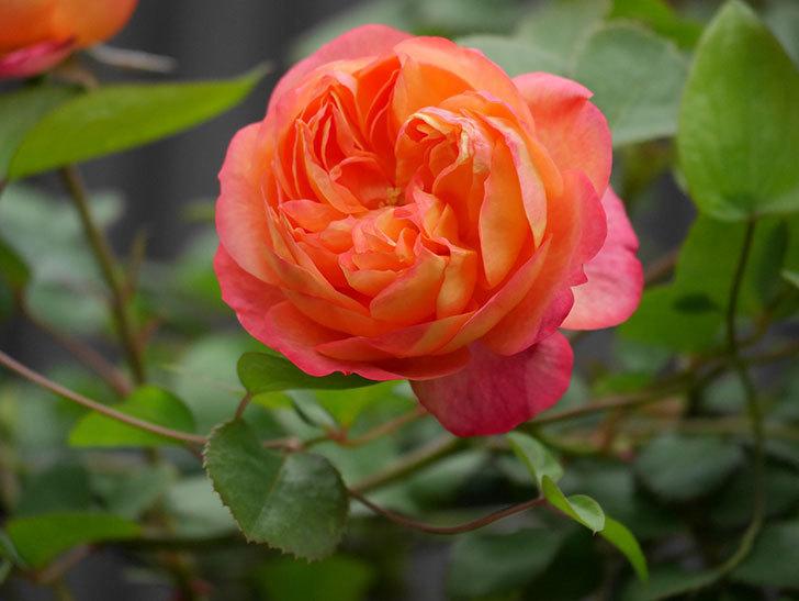ソレイユロマンティカ(ツルバラ)の花がたくさん咲いた。2020年-10.jpg