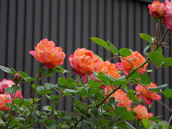 ソレイユロマンティカ(ツルバラ)の花がたくさん咲いた。2020年-11.jpg