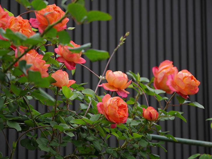 ソレイユロマンティカ(ツルバラ)の花がたくさん咲いた。2020年-12.jpg
