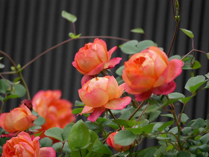 ソレイユロマンティカ(ツルバラ)の花がたくさん咲いた。2020年-2.jpg
