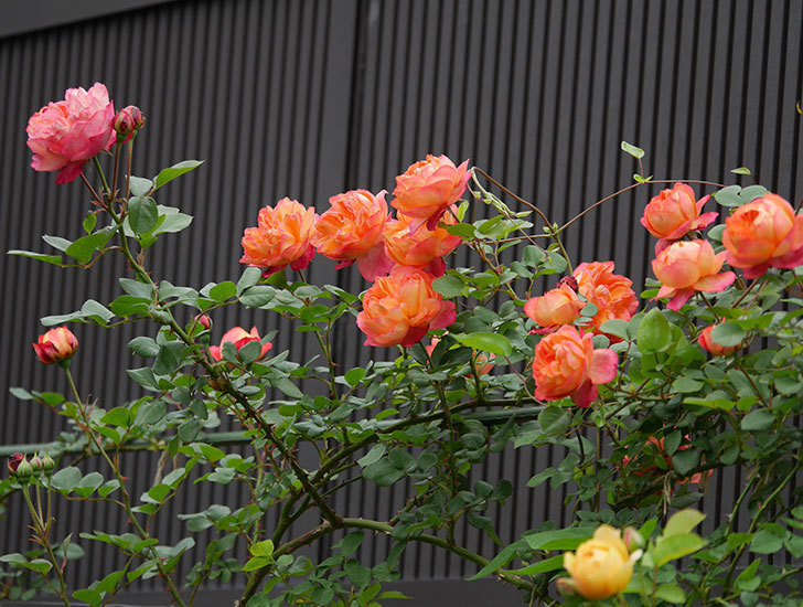 ソレイユロマンティカ(ツルバラ)の花がたくさん咲いた。2020年-3.jpg