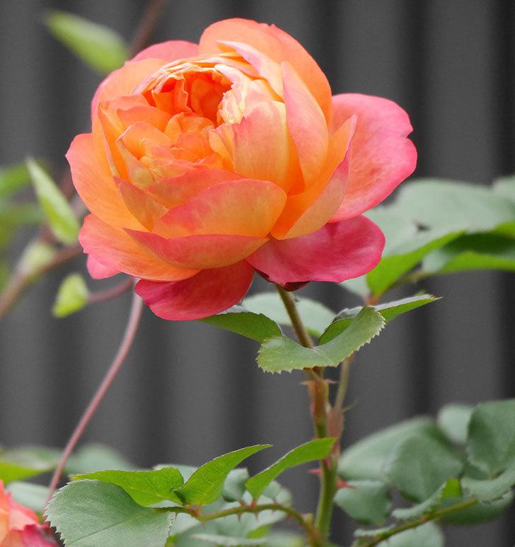 ソレイユロマンティカ(ツルバラ)の花がたくさん咲いた。2020年-4.jpg