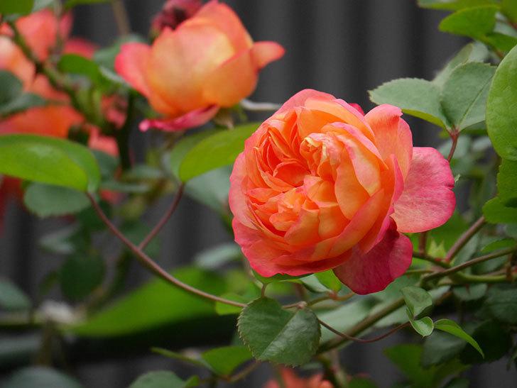 ソレイユロマンティカ(ツルバラ)の花がたくさん咲いた。2020年-5.jpg