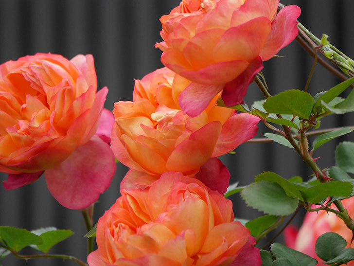 ソレイユロマンティカ(ツルバラ)の花がたくさん咲いた。2020年-6.jpg