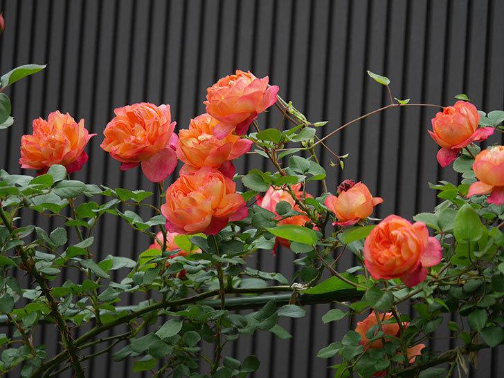 ソレイユロマンティカ(ツルバラ)の花がたくさん咲いた。2020年-7.jpg