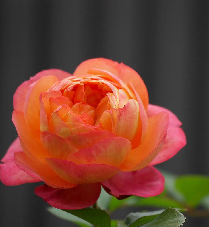 ソレイユロマンティカ(ツルバラ)の花がたくさん咲いた。2020年-8.jpg