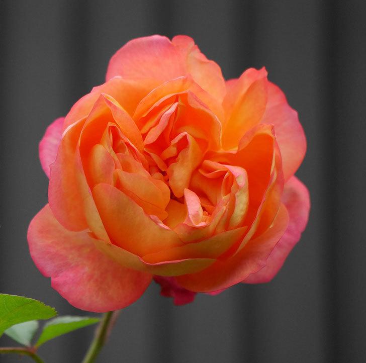 ソレイユロマンティカ(ツルバラ)の花がたくさん咲いた。2020年-9.jpg