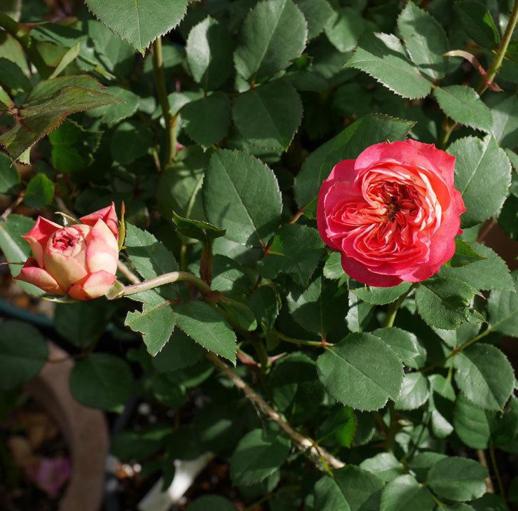 ソレイユロマンティカ(ツルバラ)の花が咲いた。2019年-1.jpg