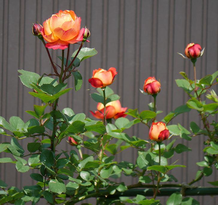 ソレイユロマンティカ(ツルバラ)の花が咲いた。2020年-1.jpg
