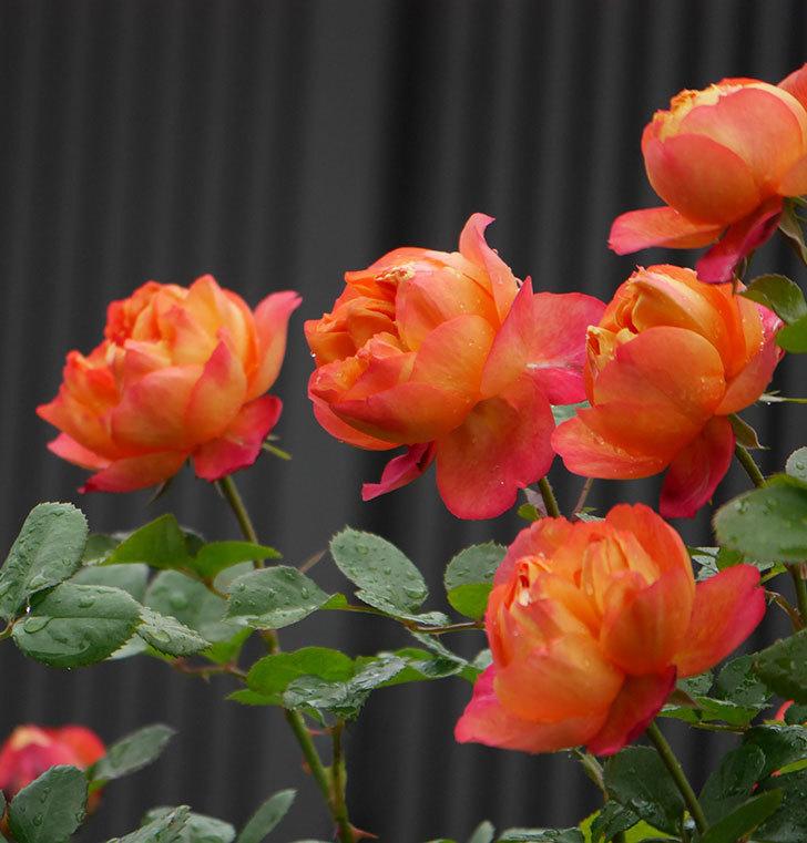 ソレイユロマンティカ(ツルバラ)の花が増えてきた。2020年-1.jpg