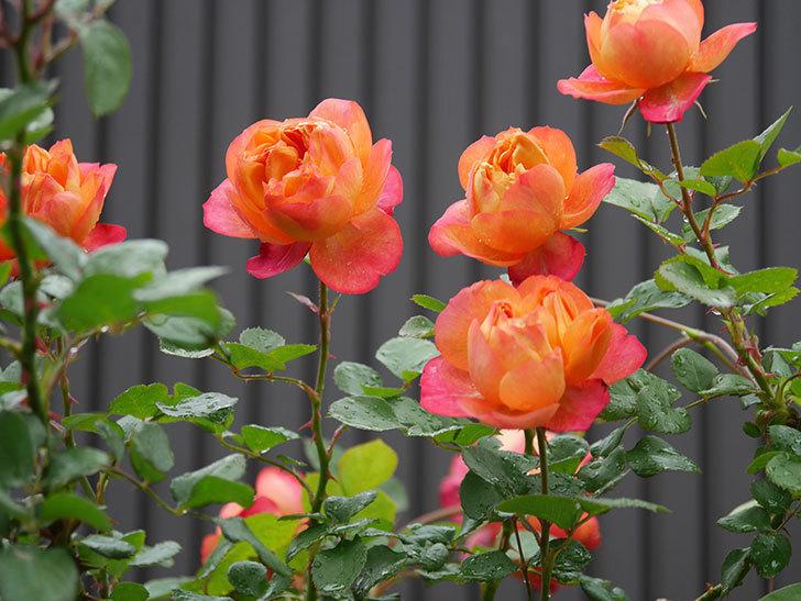 ソレイユロマンティカ(ツルバラ)の花が増えてきた。2020年-10.jpg