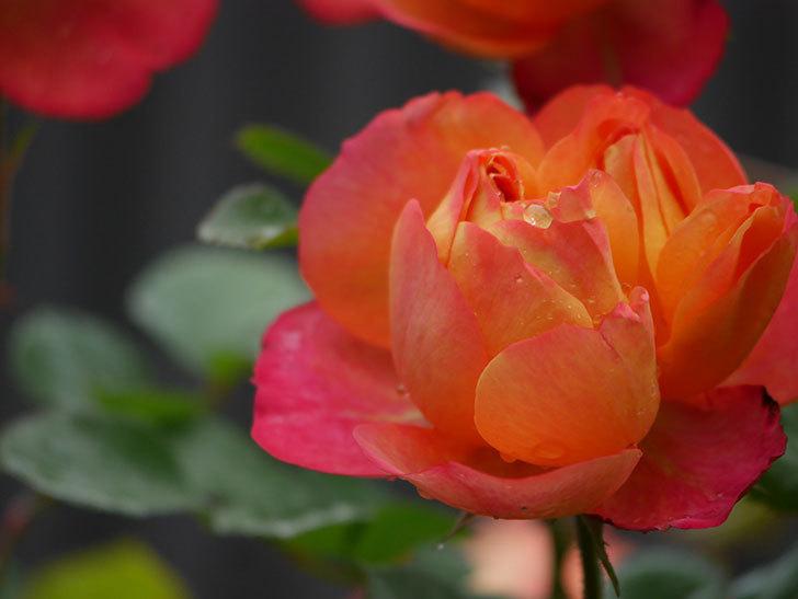 ソレイユロマンティカ(ツルバラ)の花が増えてきた。2020年-13.jpg