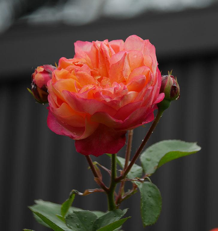 ソレイユロマンティカ(ツルバラ)の花が増えてきた。2020年-14.jpg