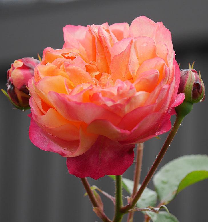 ソレイユロマンティカ(ツルバラ)の花が増えてきた。2020年-15.jpg