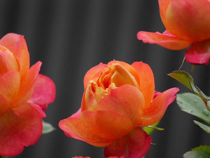 ソレイユロマンティカ(ツルバラ)の花が増えてきた。2020年-17.jpg
