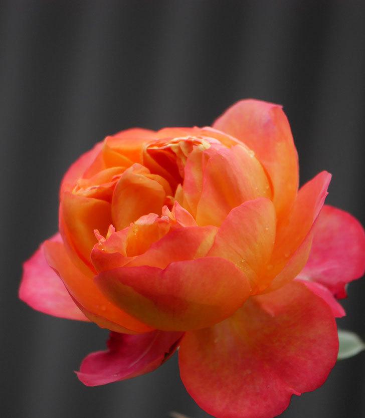 ソレイユロマンティカ(ツルバラ)の花が増えてきた。2020年-18.jpg