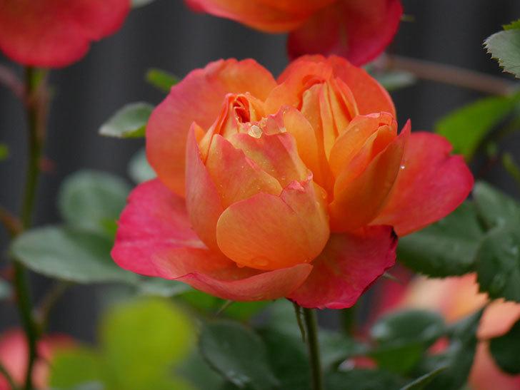 ソレイユロマンティカ(ツルバラ)の花が増えてきた。2020年-19.jpg