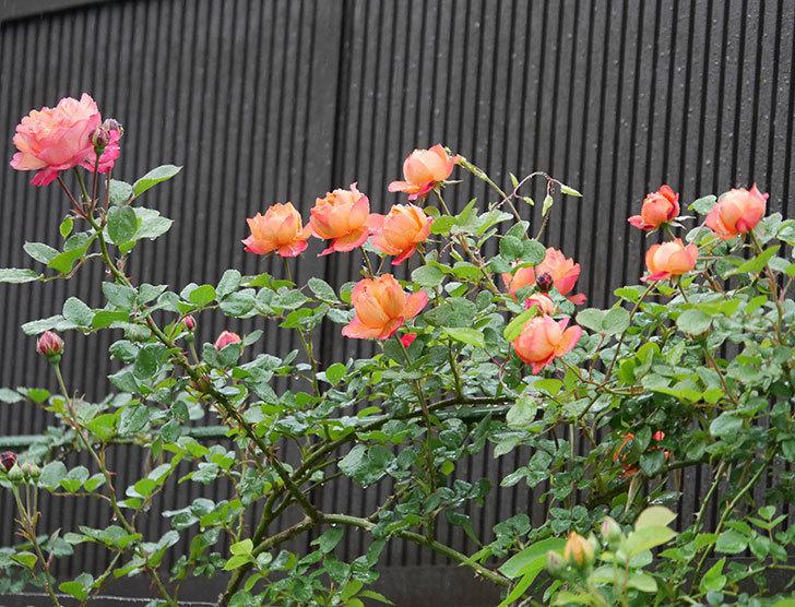 ソレイユロマンティカ(ツルバラ)の花が増えてきた。2020年-2.jpg