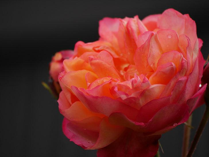 ソレイユロマンティカ(ツルバラ)の花が増えてきた。2020年-20.jpg