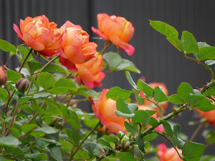 ソレイユロマンティカ(ツルバラ)の花が増えてきた。2020年-21.jpg