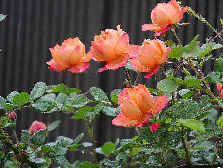 ソレイユロマンティカ(ツルバラ)の花が増えてきた。2020年-3.jpg
