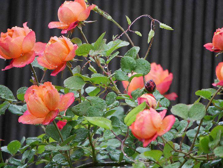 ソレイユロマンティカ(ツルバラ)の花が増えてきた。2020年-4.jpg