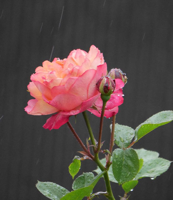 ソレイユロマンティカ(ツルバラ)の花が増えてきた。2020年-5.jpg