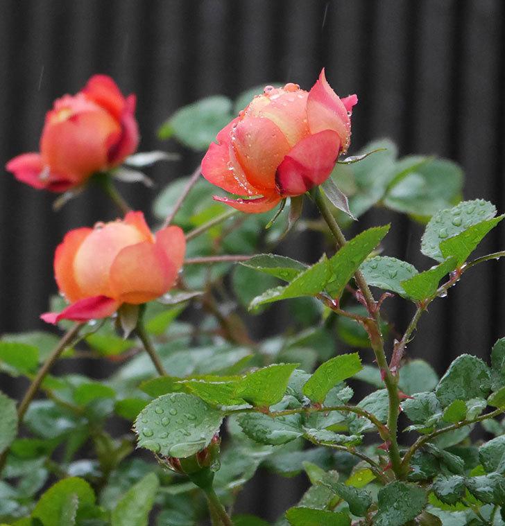 ソレイユロマンティカ(ツルバラ)の花が増えてきた。2020年-6.jpg