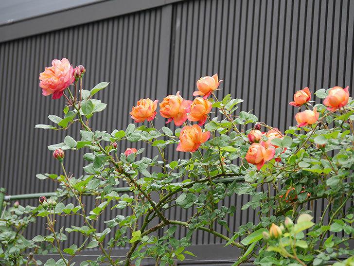 ソレイユロマンティカ(ツルバラ)の花が増えてきた。2020年-7.jpg