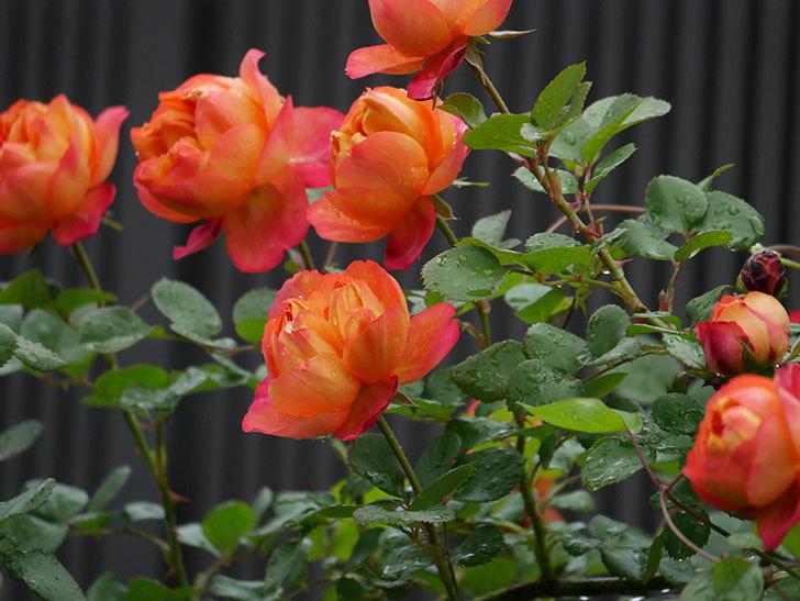 ソレイユロマンティカ(ツルバラ)の花が増えてきた。2020年-8.jpg