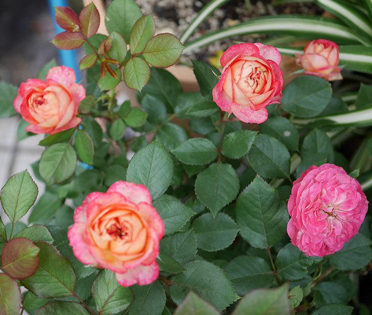 ソレイユロマンティカ(ツルバラ)の花が増えて来た。2019年-1.jpg