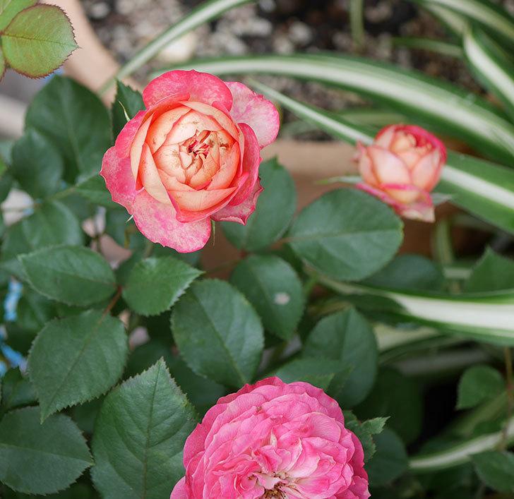 ソレイユロマンティカ(ツルバラ)の花が増えて来た。2019年-10.jpg