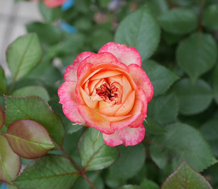 ソレイユロマンティカ(ツルバラ)の花が増えて来た。2019年-2.jpg